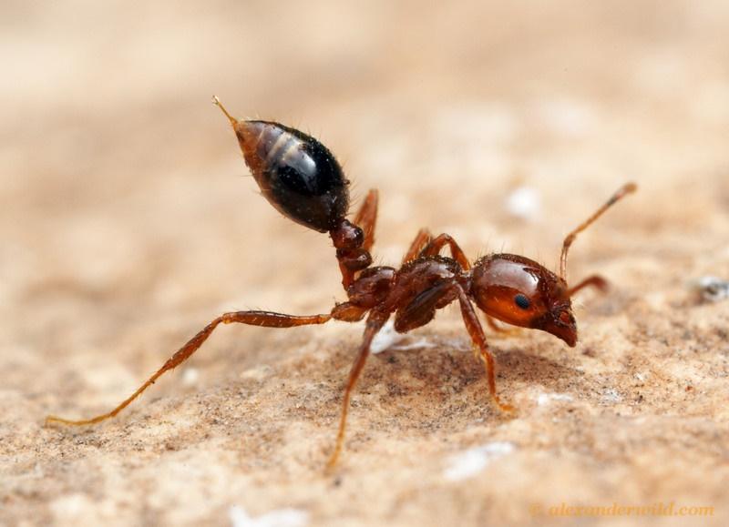الگو برداری از مورچه ی آتشین برای ساخت ربات امداد و نجات!