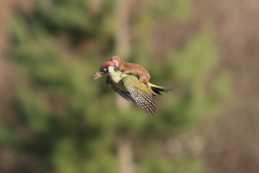 Incredible_photo_shows_a_weasel-09d4695c4e70234e184289418a9c0dc3 (1)