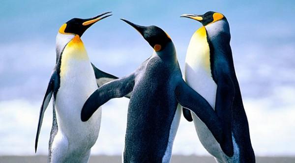 Penguins-together
