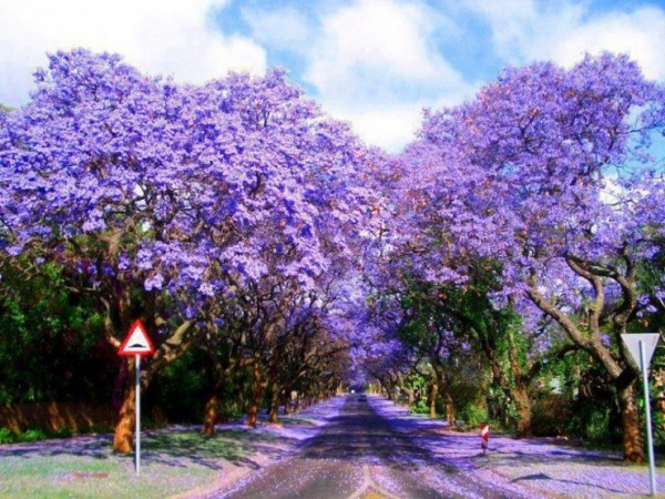 Top-10-Blossoming-Pretoria3-740x555