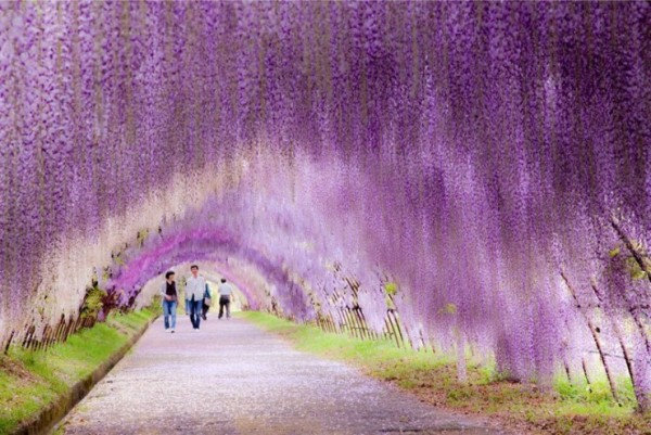 Top-10-Blossoming-Wisteria2-740x494