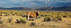 تغییر ژنتیک در گاوها برای نجات گونه انسان