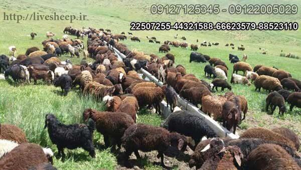با تکنولوژی روز حرکت کنید ثبت سفارش انلاین گوسفند زنده